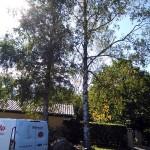Birketræ før træfældning
