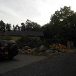 Birketræ efter træfældning